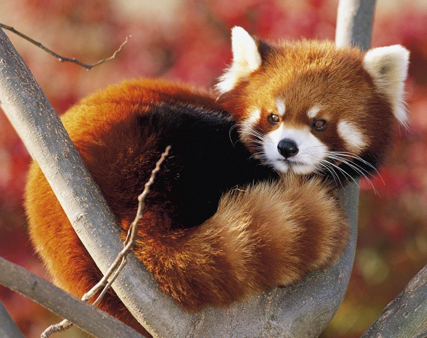 firefox_red_panda